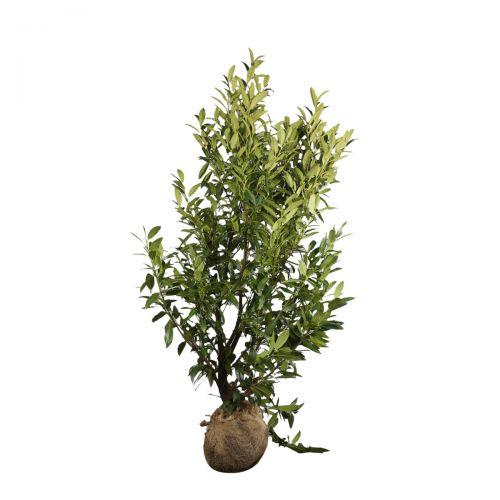 Kirschlorbeer 'Herbergii' Wurzelballen 100-125 cm Extra Qualtität
