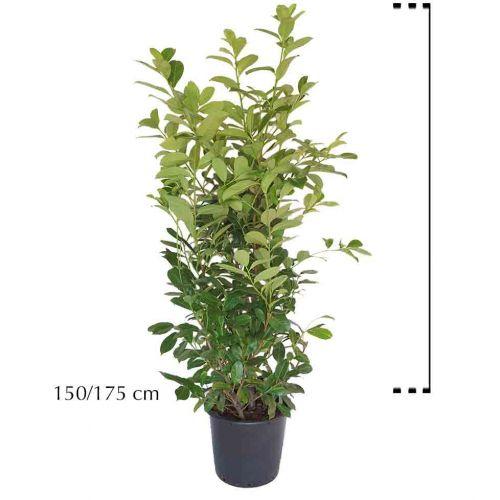 Großblättriger Kirschlorbeer  Topf 150-175 cm