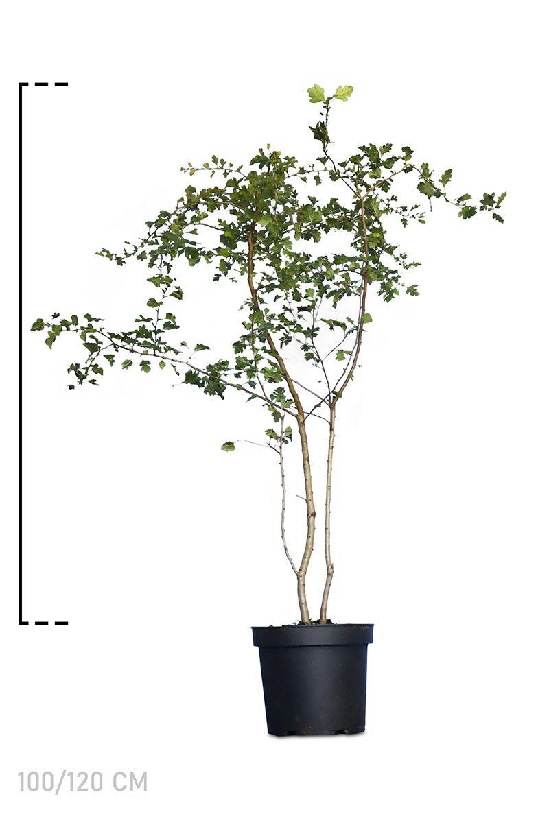 Eingriffeliger Weißdorn  Topf 100-120 cm