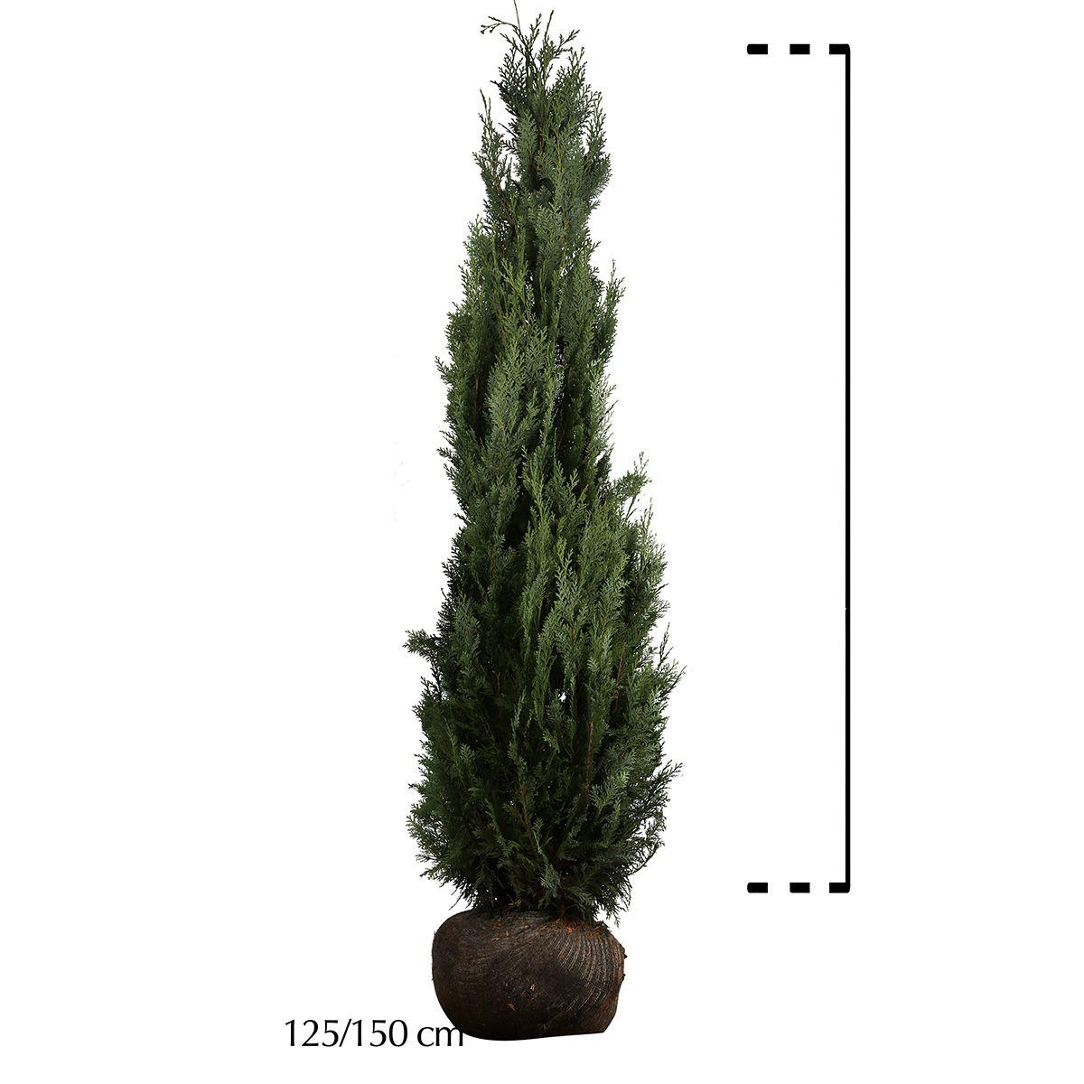 Gelbe Scheinzypresse Wurzelballen 125-150 cm Extra Qualtität