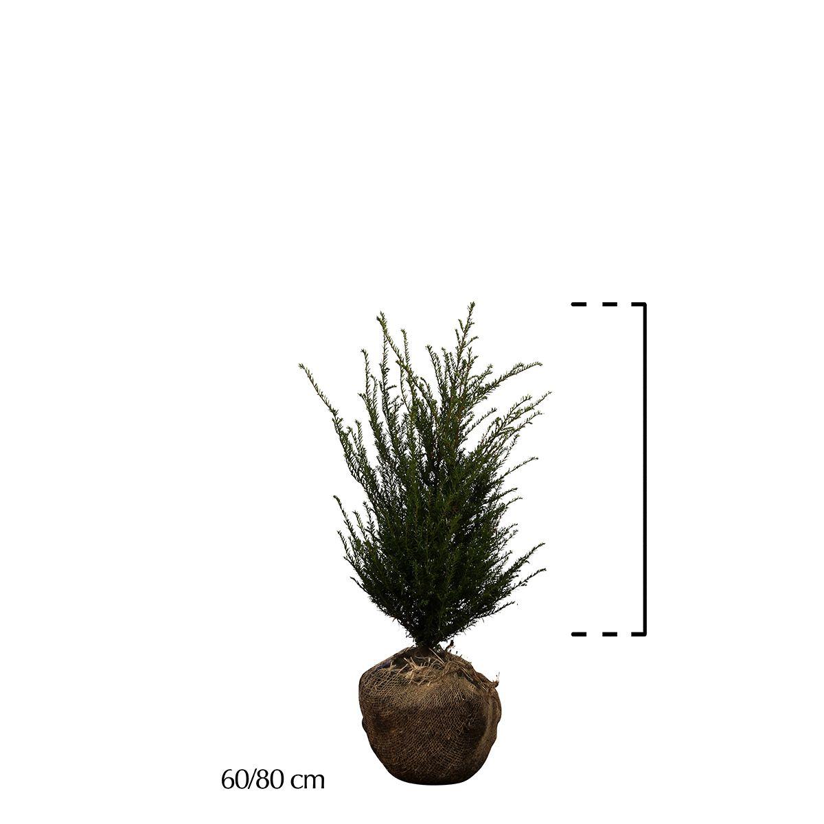 Gemeine Eibe Wurzelballen 60-80 cm Extra Qualtität