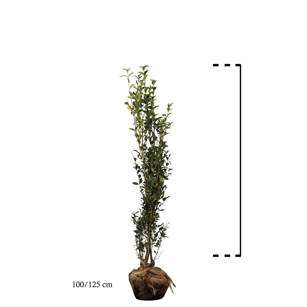 Ovalblättriger Liguster  Wurzelballen 100-125 cm