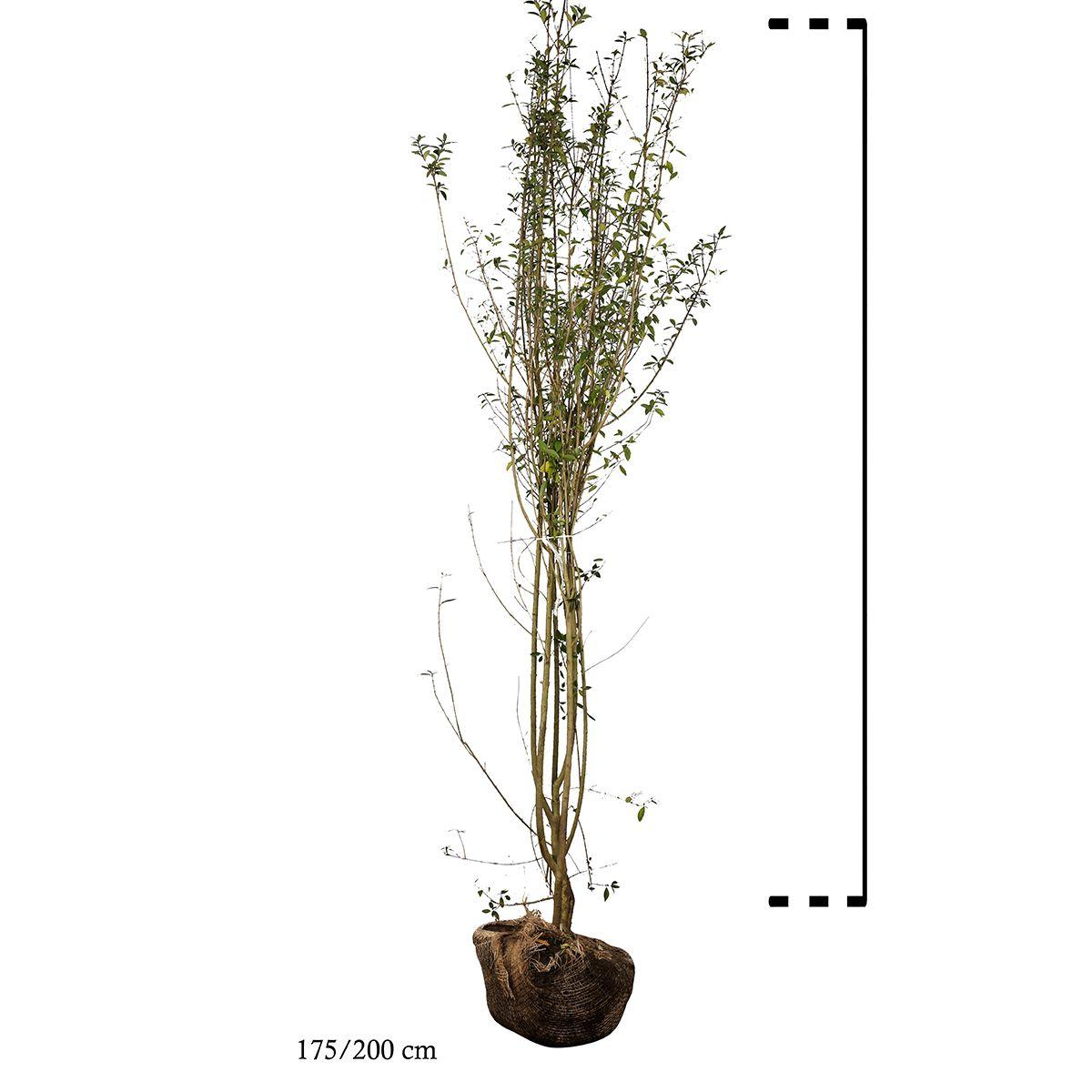 Gemeiner Liguster   Wurzelballen 175-200 cm