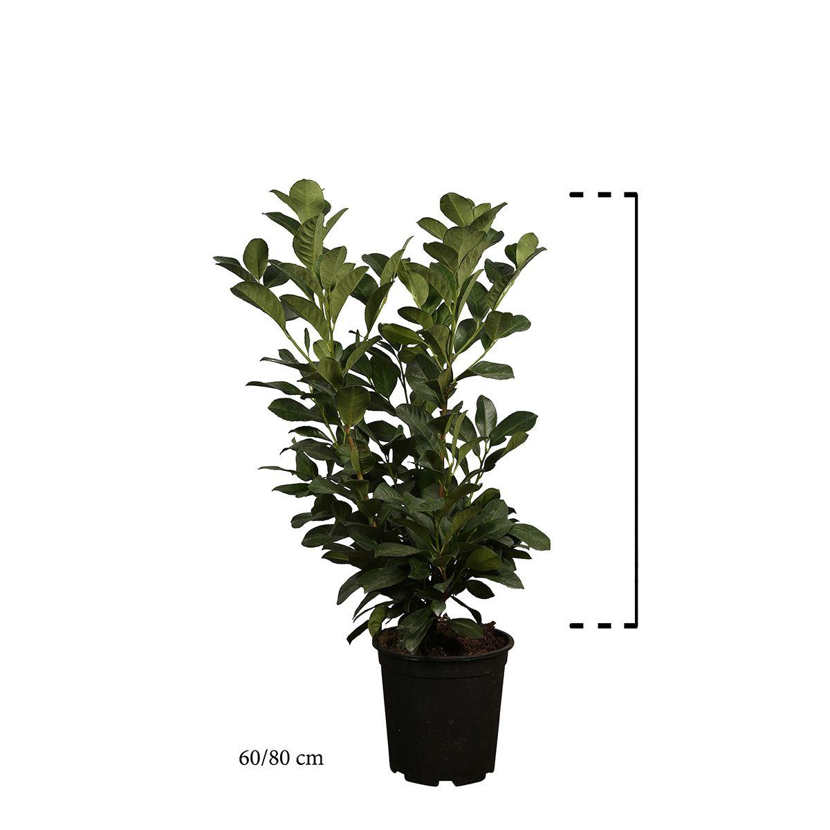 Kirschlorbeer 'Etna'  Topf 60-80 cm Extra Qualtität