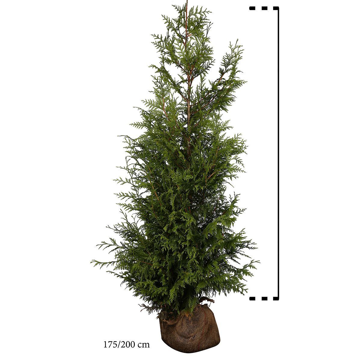 Lebensbaum 'Excelsa' Wurzelballen 175-200 cm