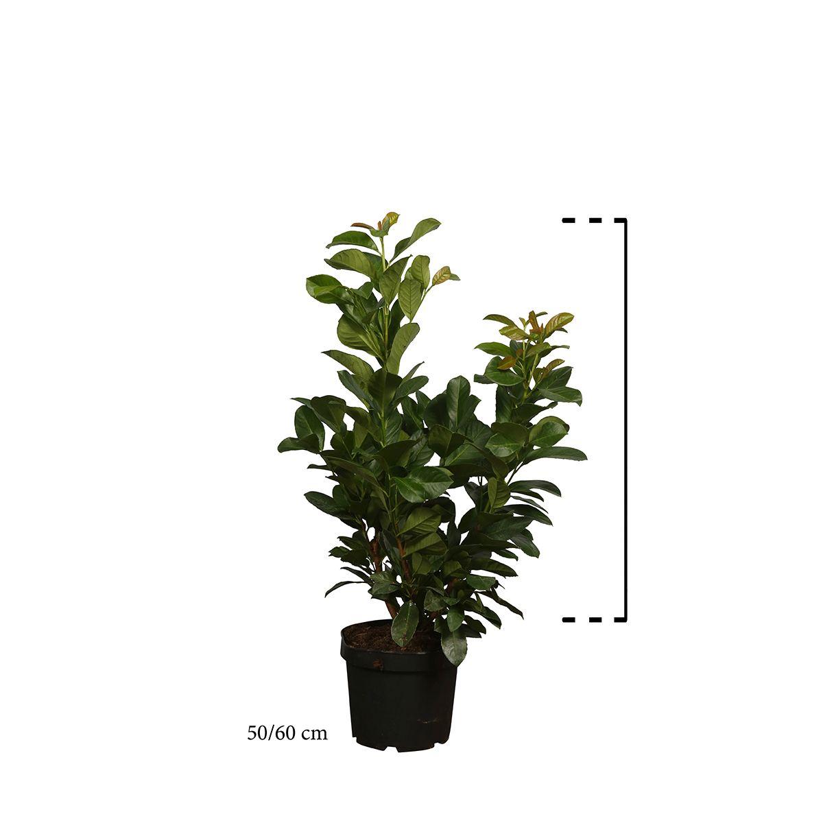 Kirschlorbeer 'Etna'  Topf 50-60 cm