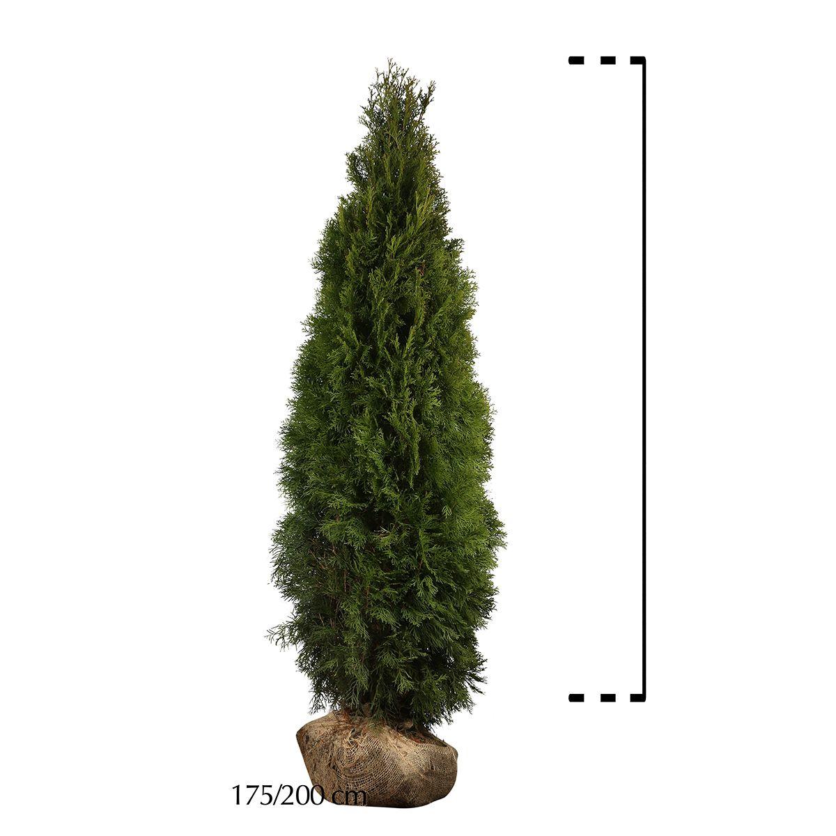 Lebensbaum 'Smaragd'  Wurzelballen 175-200 cm Extra Qualtität