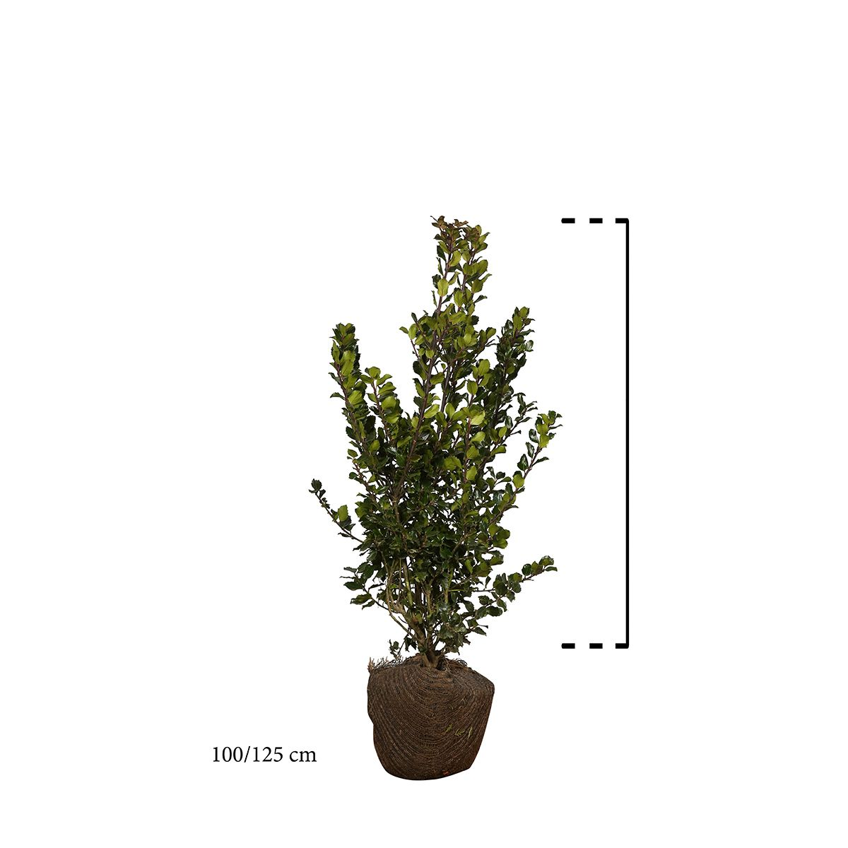 Stechpalme 'Blue Prince' Wurzelballen 100-125 cm Extra Qualtität