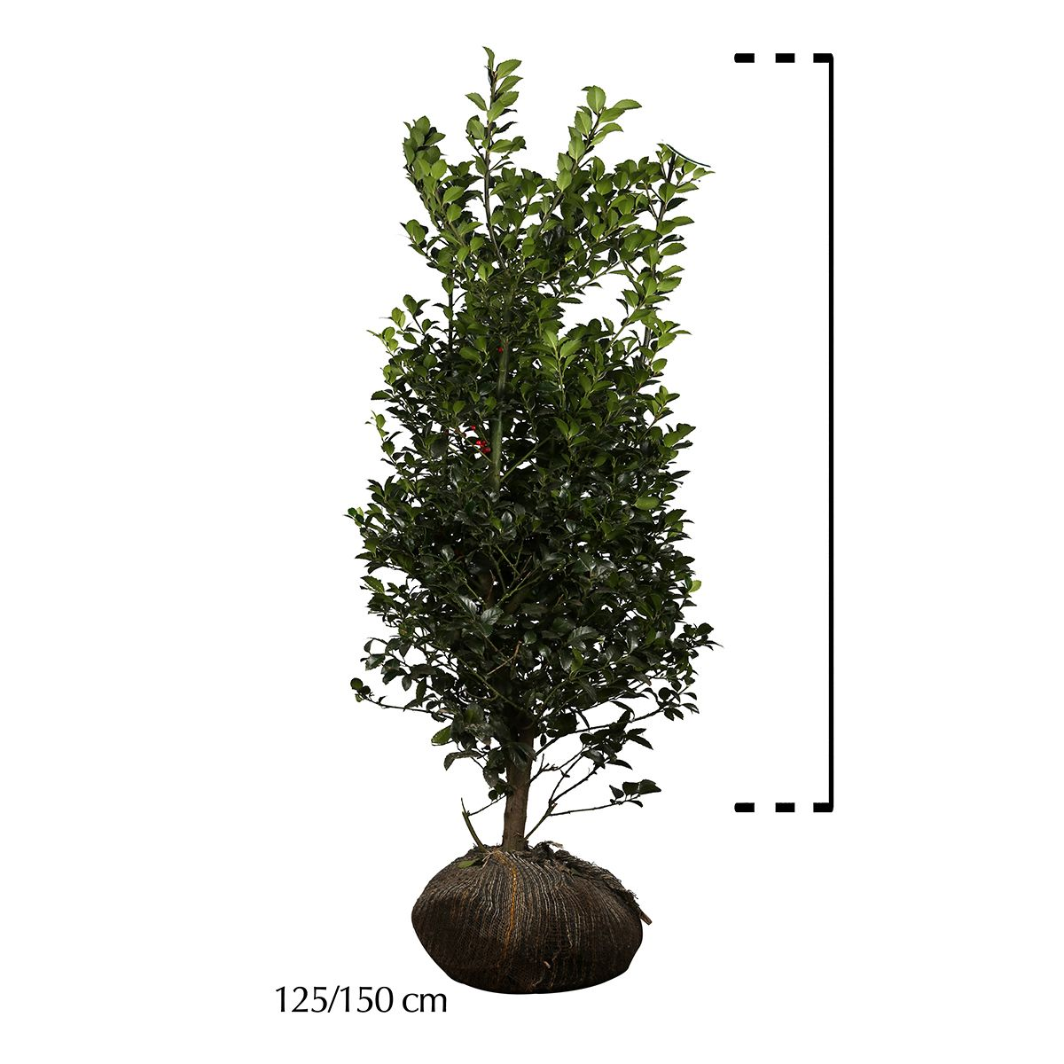 Stechpalme 'Heckenfee' Wurzelballen 125-150 cm