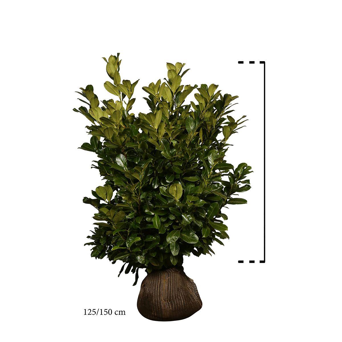 Großblättriger Kirschlorbeer  Wurzelballen 125-150 cm Extra Qualtität