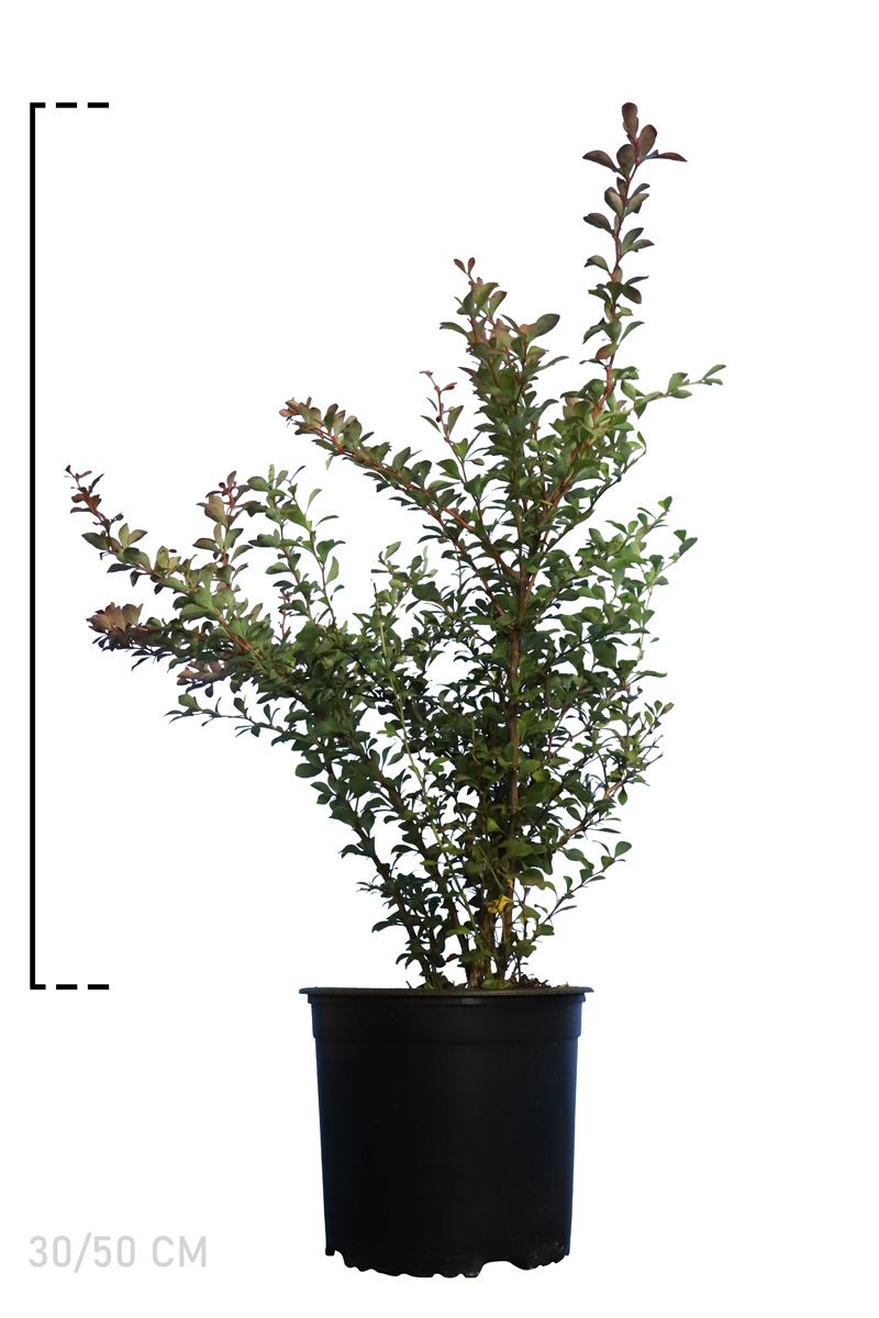 Blutberberitze  Topf 30-50 cm
