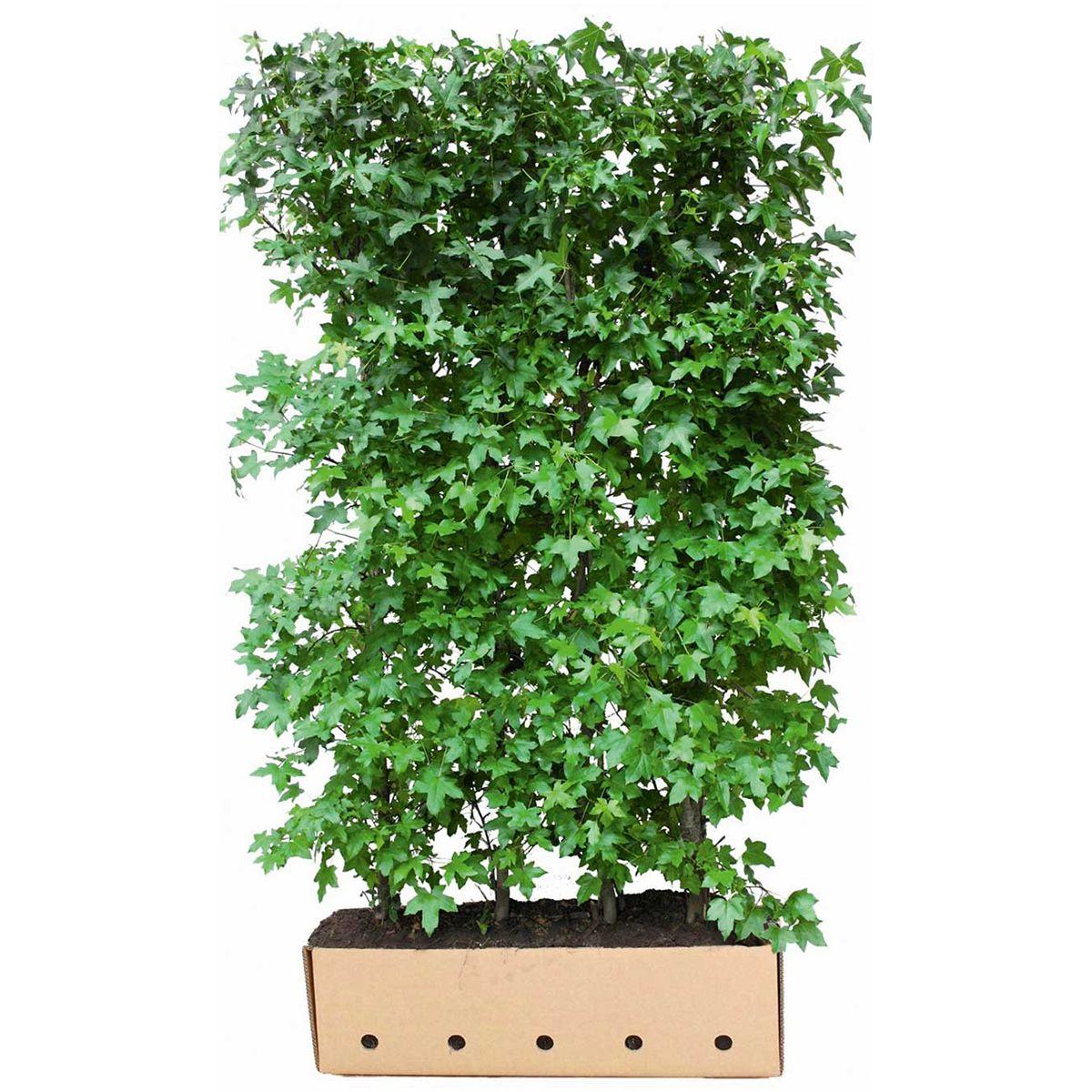 Amberbaum Fertig-Hecken 200 cm Extra Qualtität