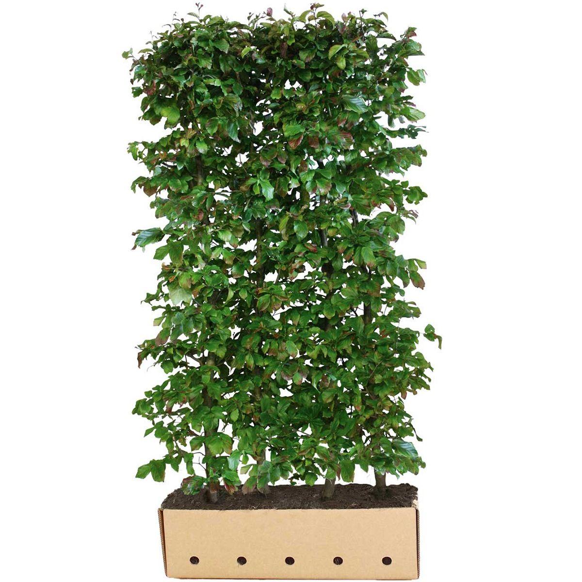 Eisenholzbaum  Fertig-Hecken 200 cm Extra Qualtität