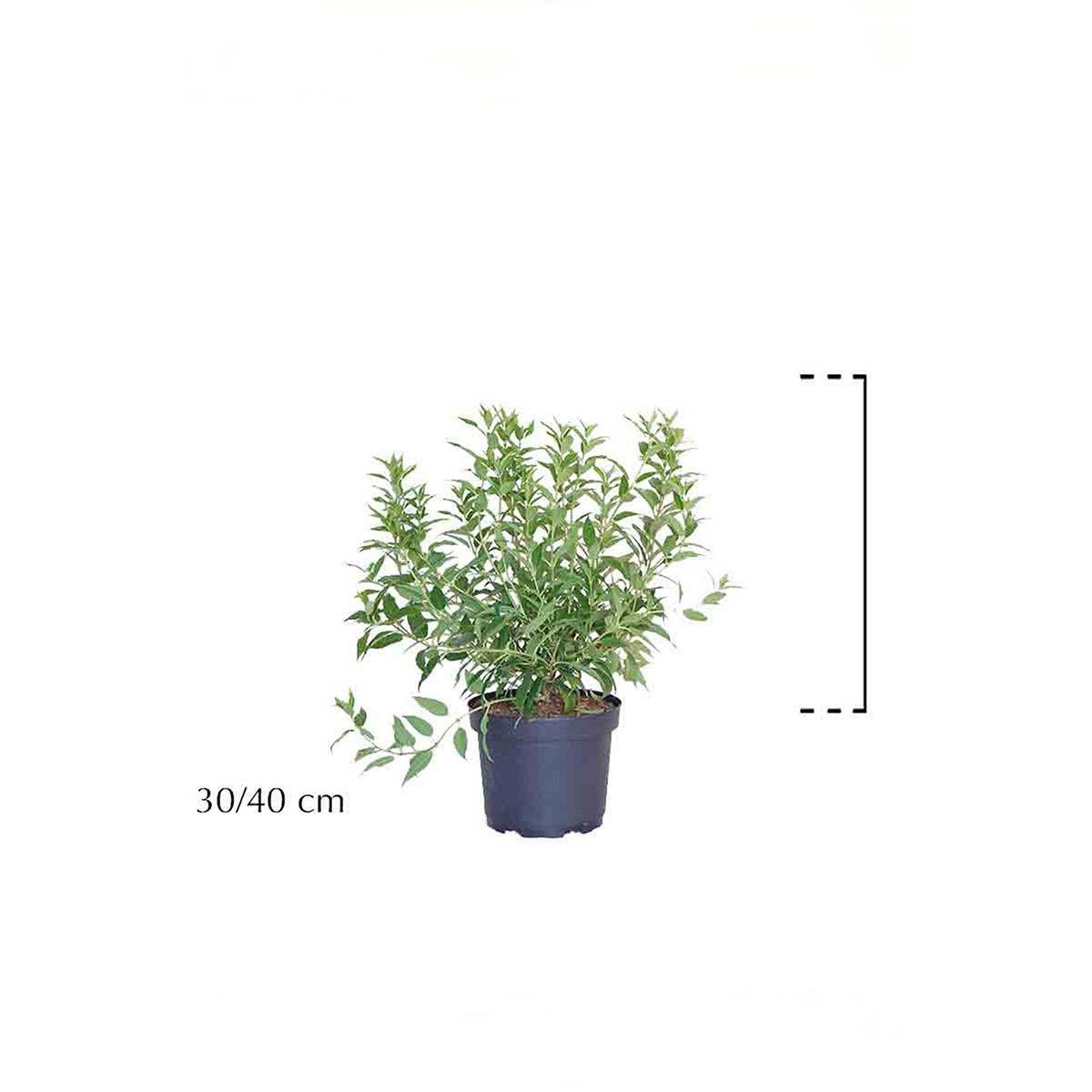 Zierliche Deutzie Topf 30-40 cm