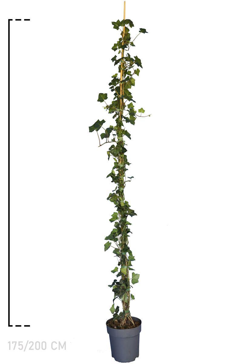 Irischer Efeu  Topf 175-200 cm