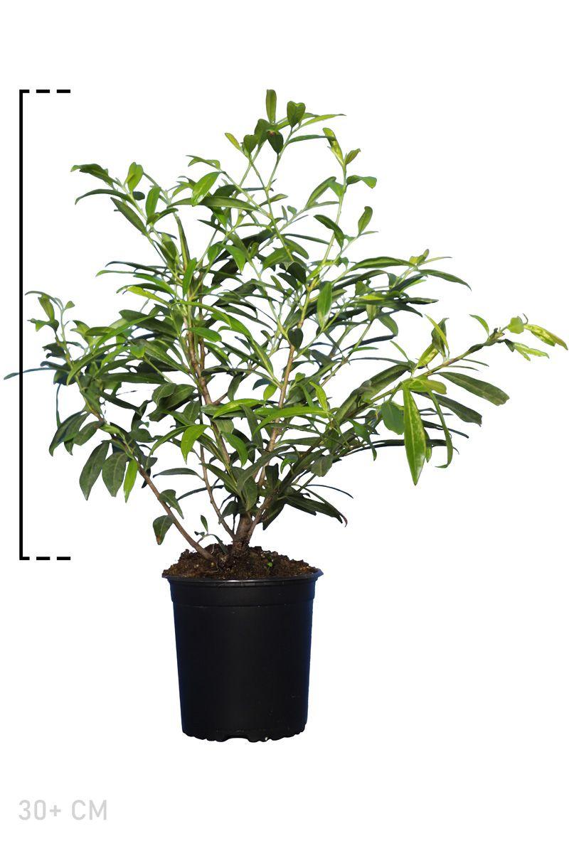 Kirschlorbeer 'Zabeliana'  Topf 30+ cm