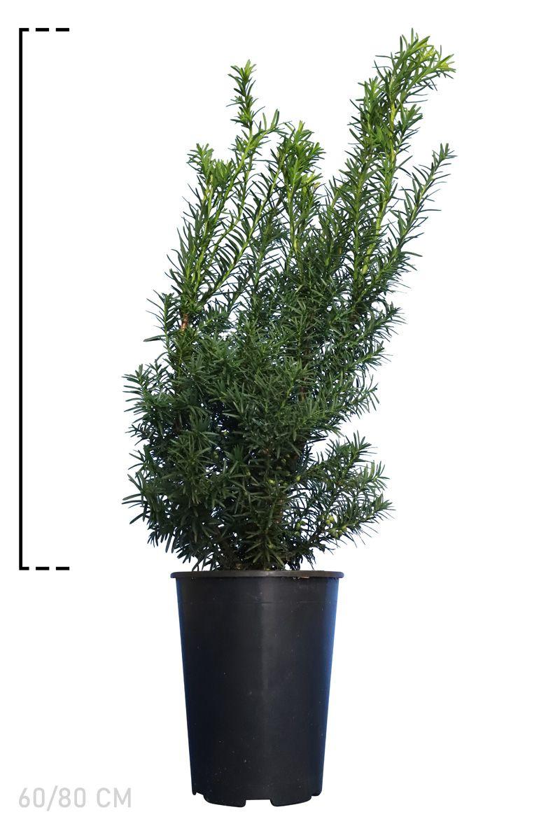 Gemeine Eibe Topf 60-80 cm