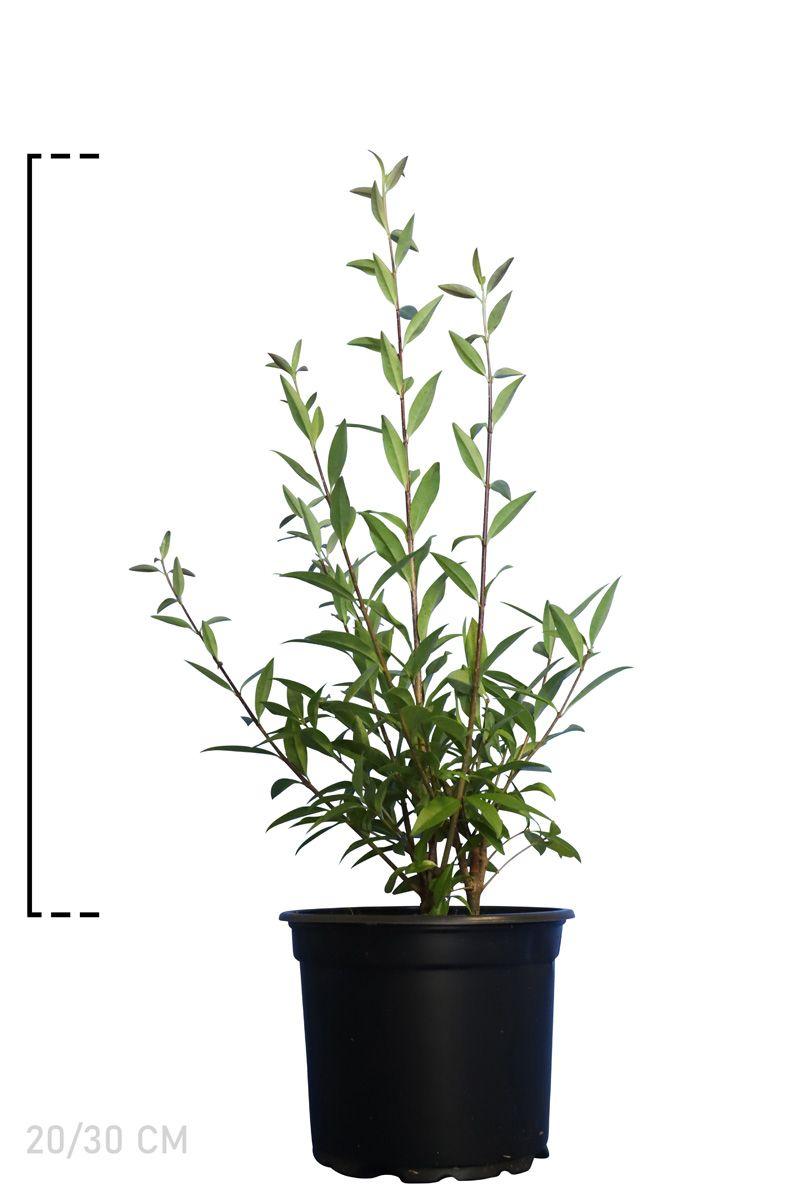 Gemeiner Liguster   Topf 20-30 cm