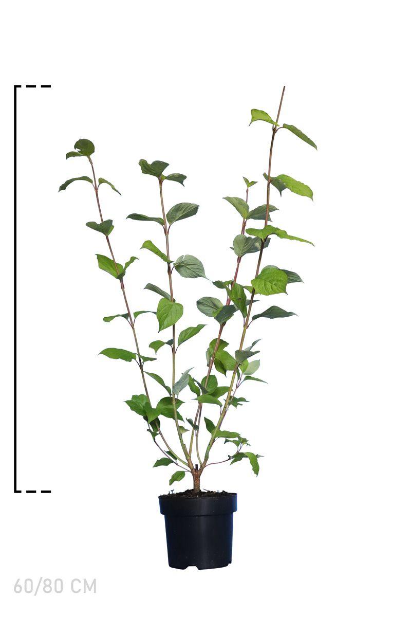 Rotholziger Hartriegel  Topf 60-80 cm Extra Qualtität