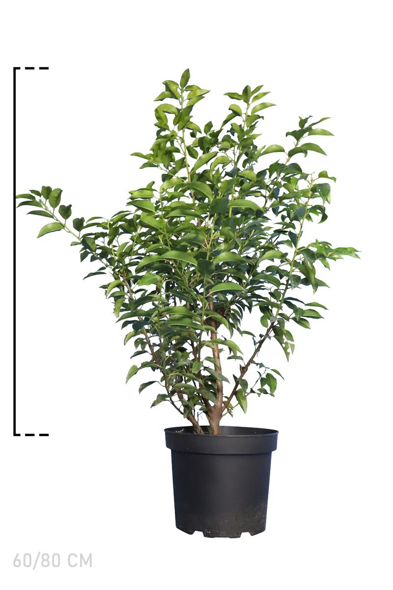 Portugiesischer Kirschlorbeer  Topf 60-80 cm