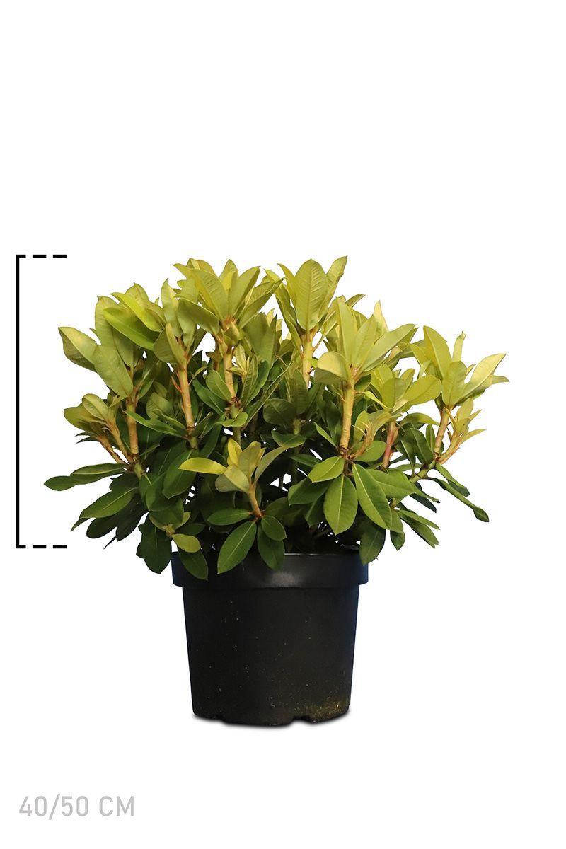 Rhododendron 'Red Jack'  Topf 40-50 cm Extra Qualtität