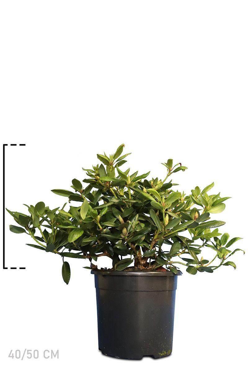 Rhododendron 'Virginia Richards' Topf 40-50 cm Extra Qualtität