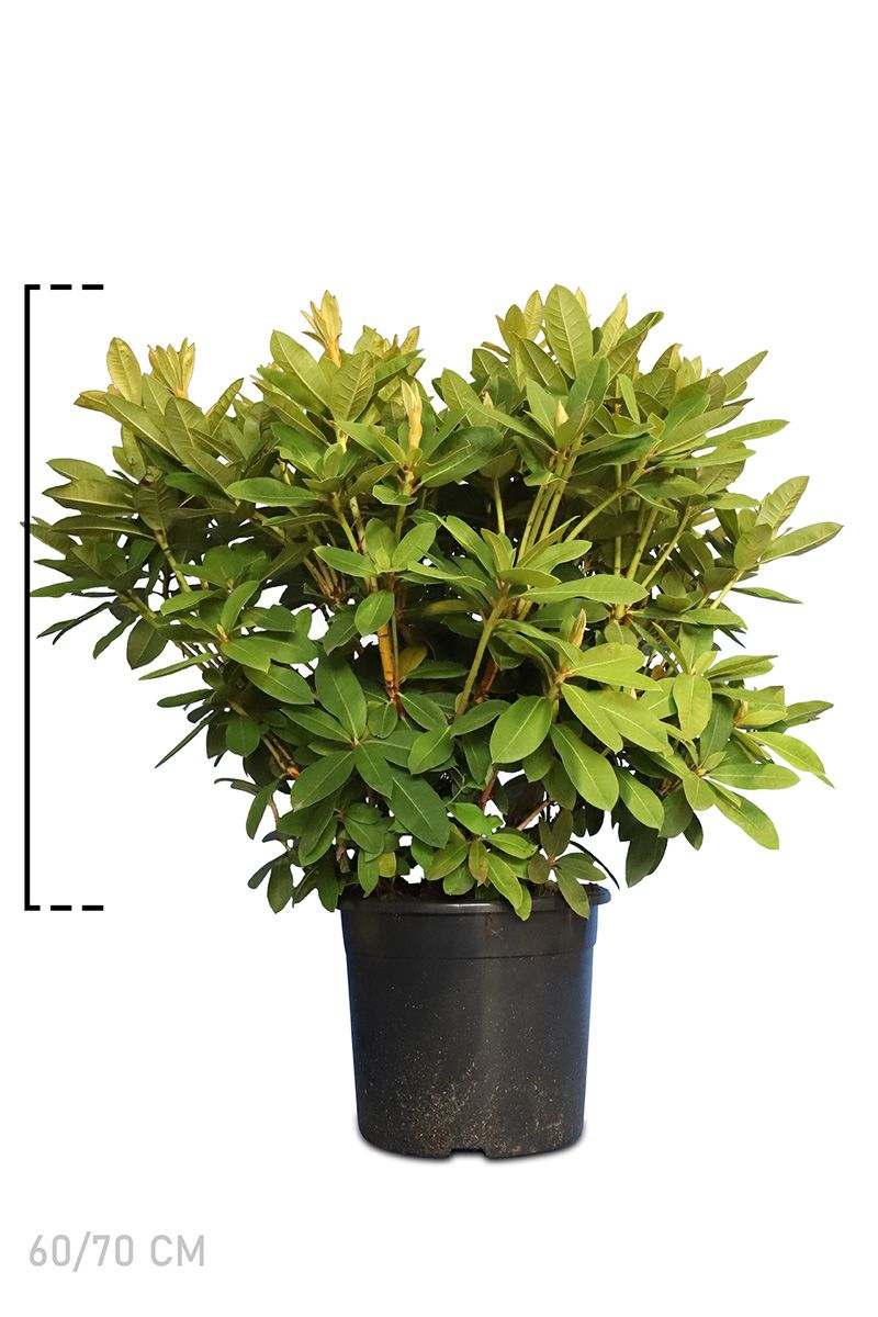 Rhododendron 'Red Jack'  Topf 60-70 cm Extra Qualtität