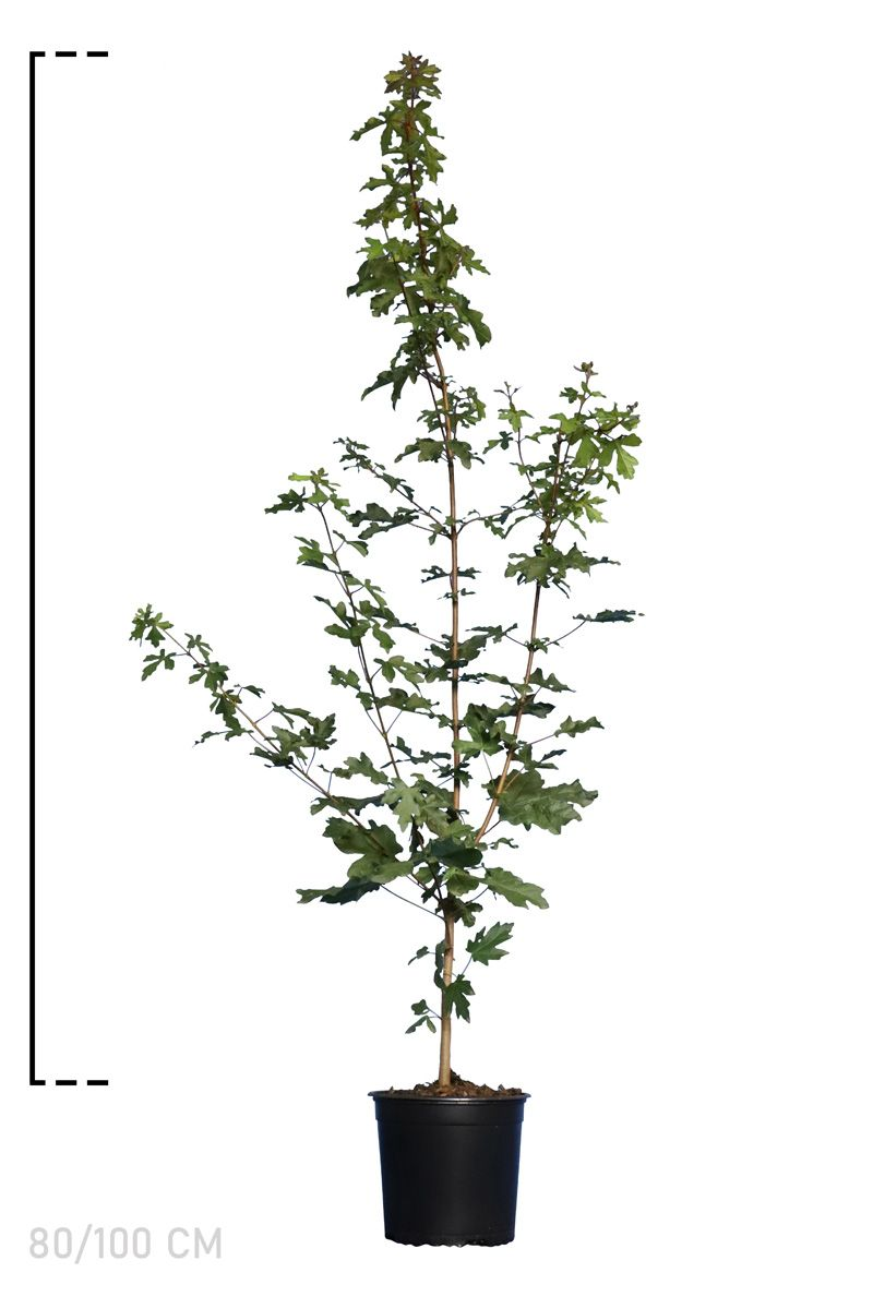 Feldahorn Topf 80-100 cm
