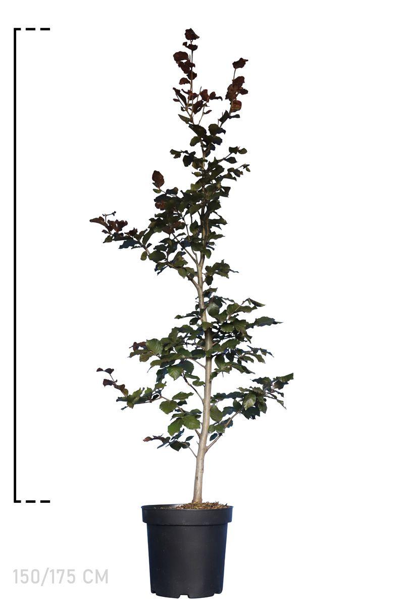 Blutbuche   Topf 150-175 cm Extra Qualtität