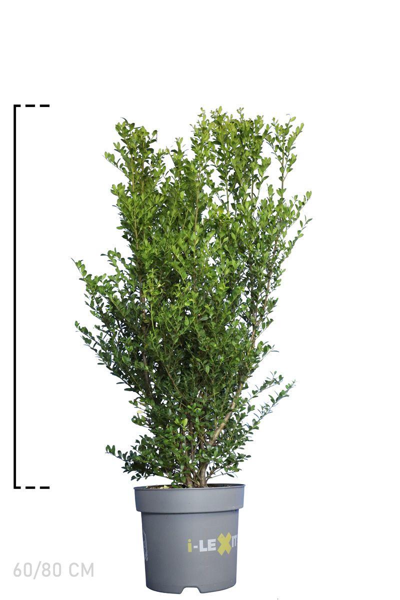 Japanische Stechpalme 'Dark Green'® Im Container 60-80 cm