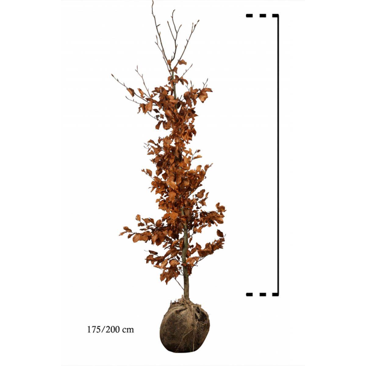 Rotbuche  Wurzelballen 175-200 cm Extra Qualtität