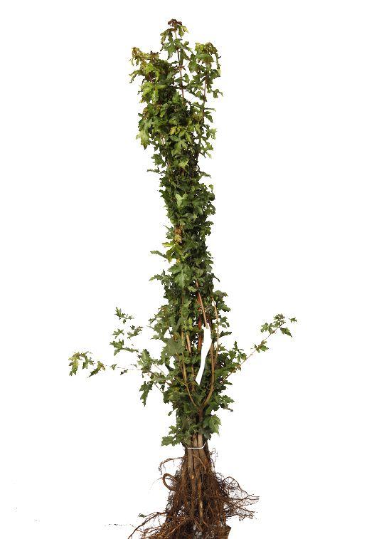 Feldahorn Wurzelware 80-100 cm Extra Qualtität