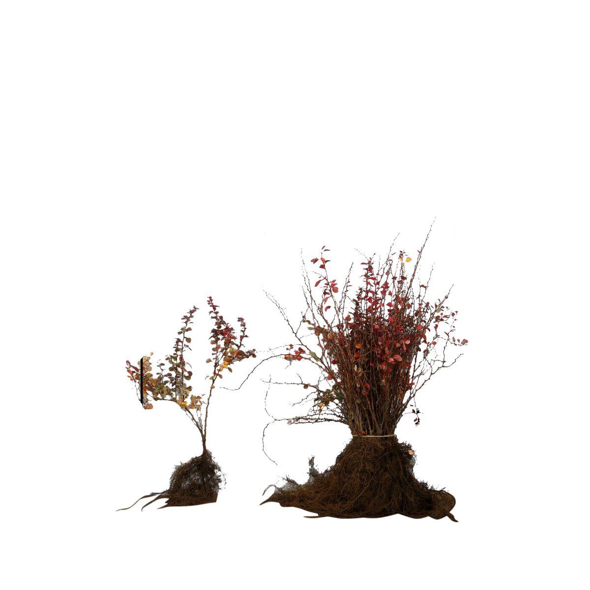 Blutberberitze  Wurzelware 20-30 cm