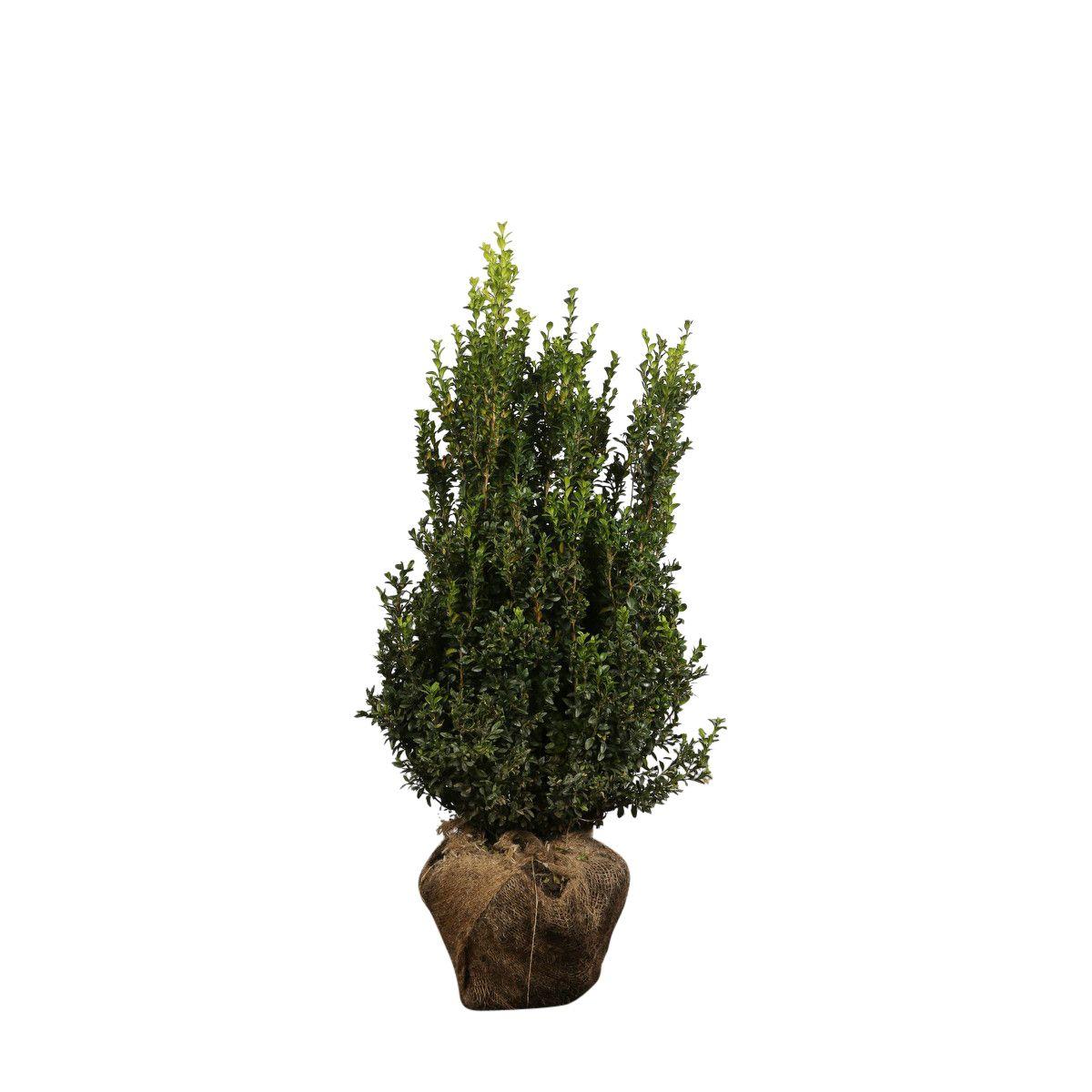Buchsbaum - Sträucher Wurzelballen 60-80 cm