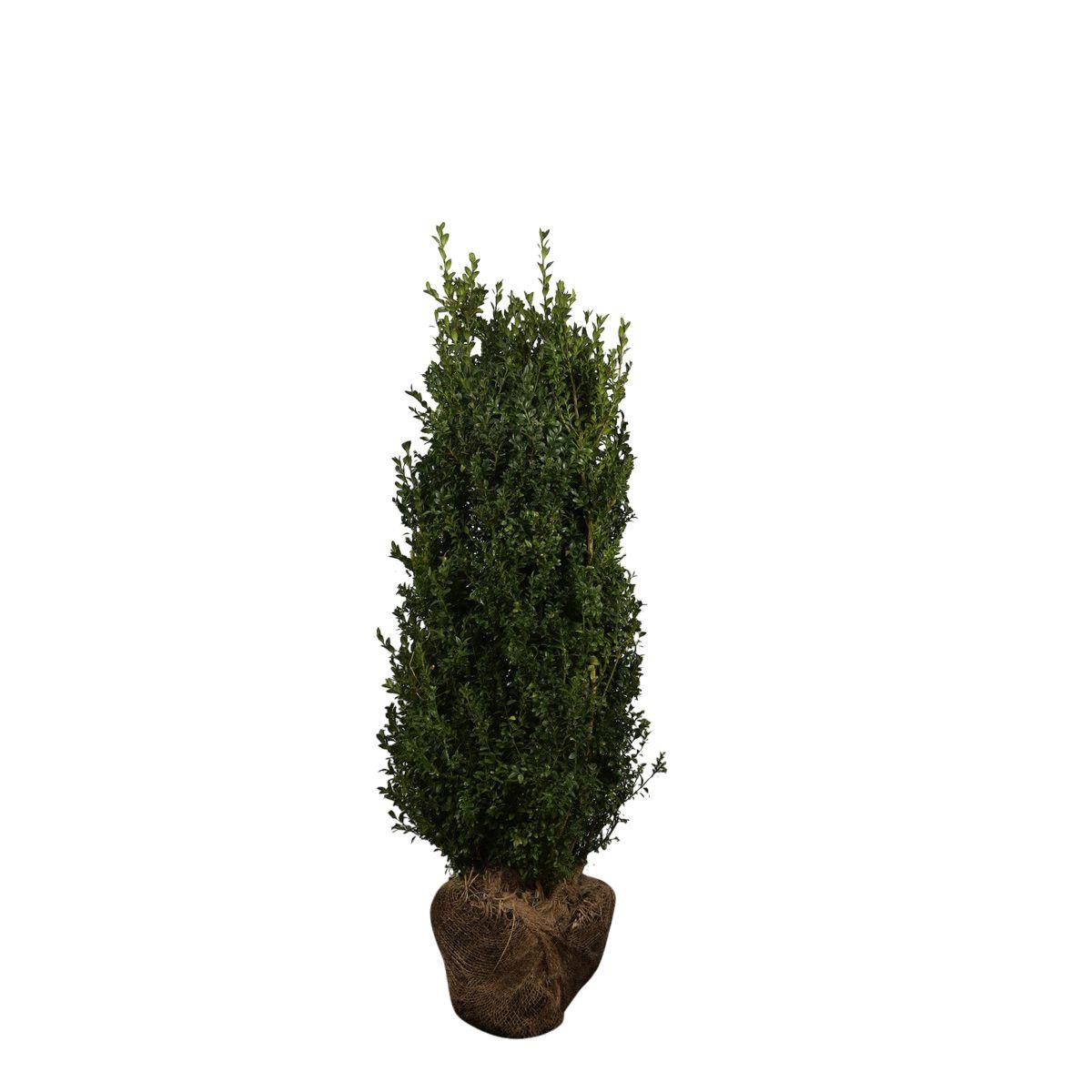 Buchsbaum - Sträucher Wurzelballen 80-100 cm Extra Qualtität