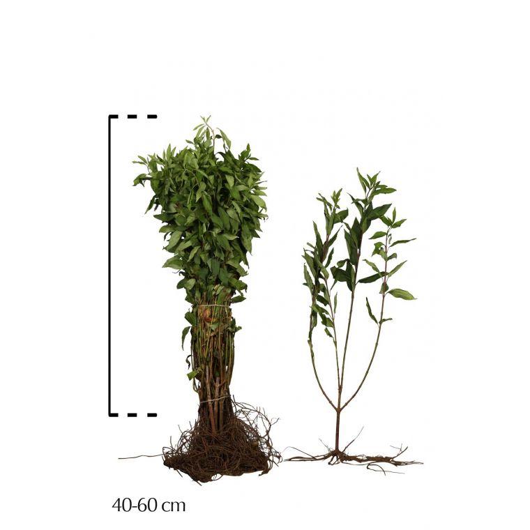 Forsythie 'Spectabilis'  Wurzelware 40-60 cm