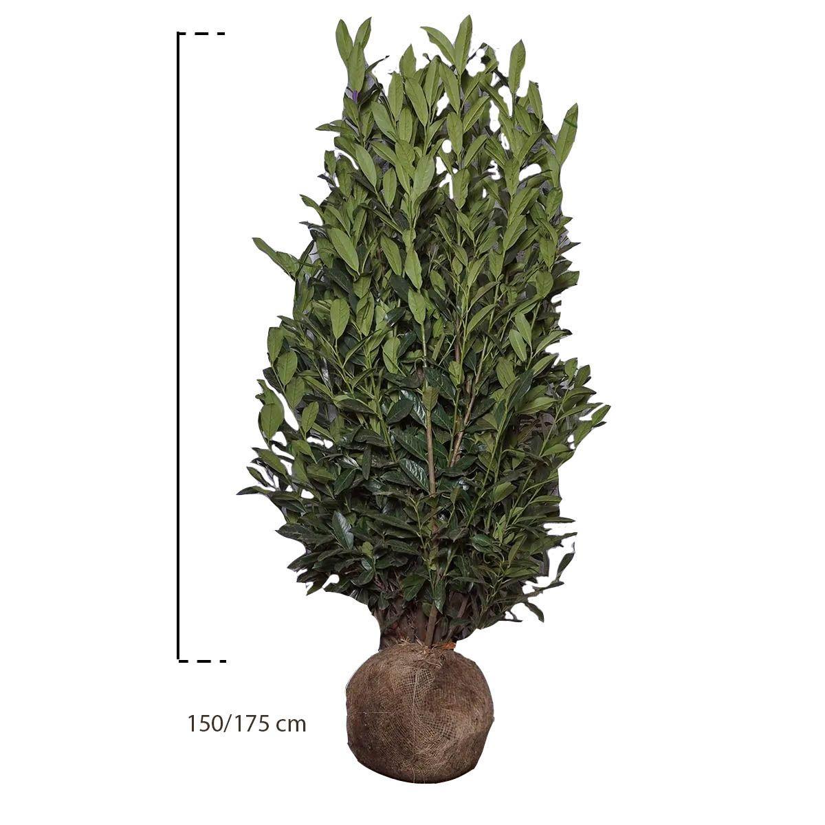 Kirschlorbeer 'Elly'® Wurzelballen 150-175 cm