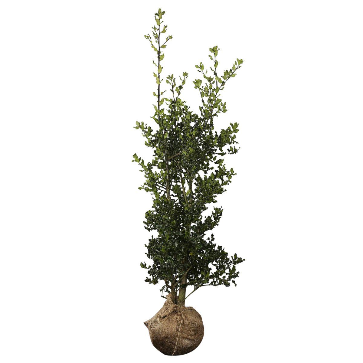 Stechpalme Wurzelballen 125-150 cm
