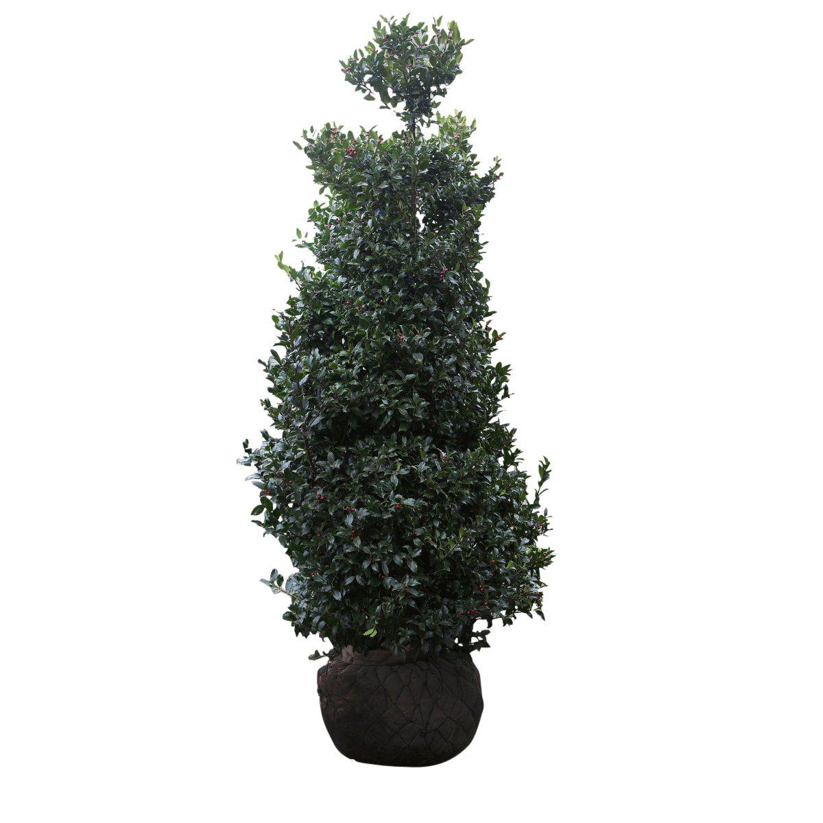 Stechpalme 'Heckenfee' Wurzelballen 150-175 cm