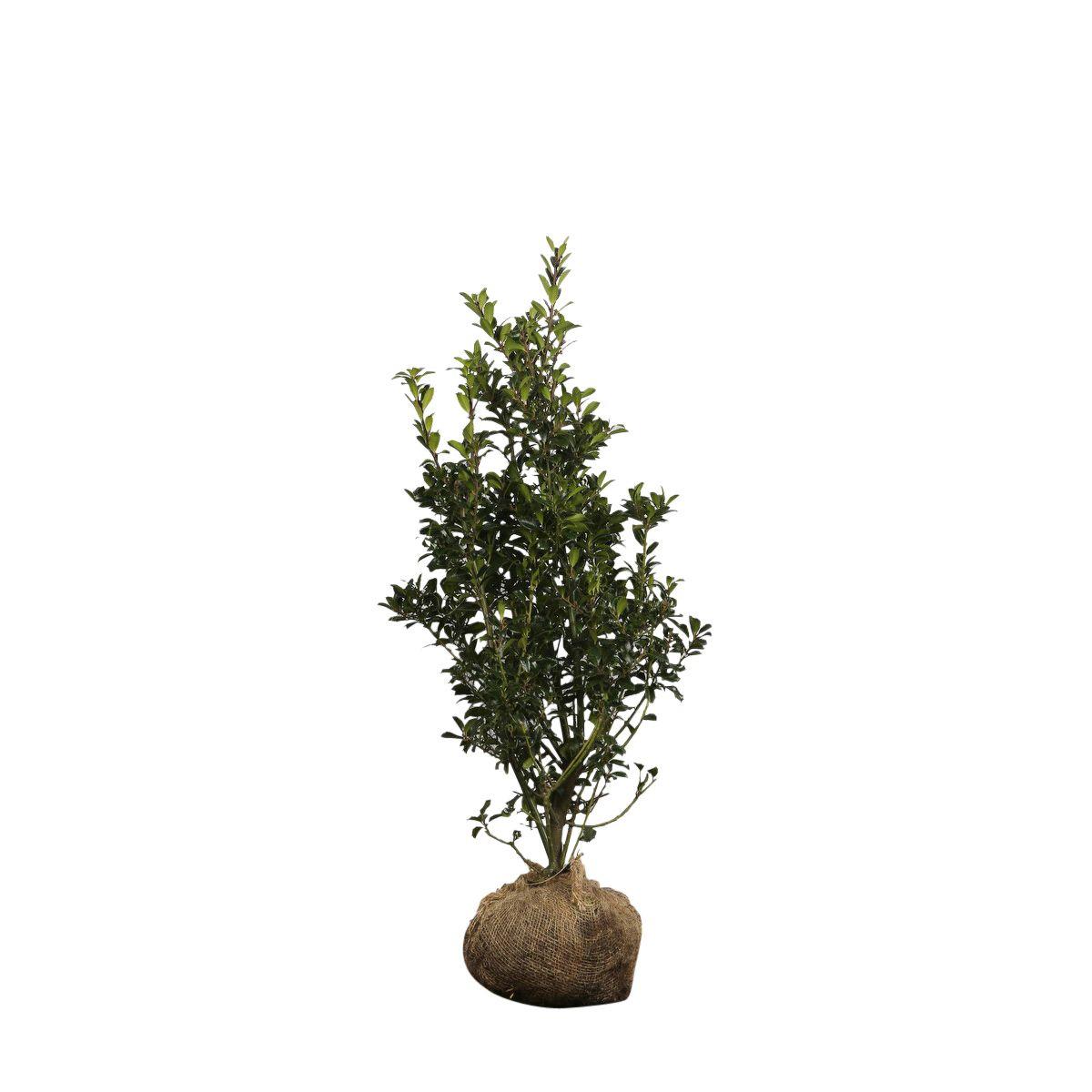 Stechpalme 'Heckenpracht'  Wurzelballen 80-100 cm