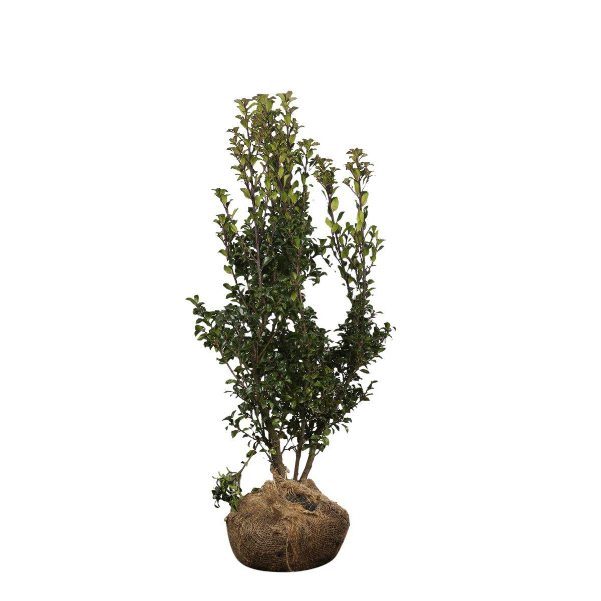 Stechpalme 'Heckenstar' Wurzelballen 80-100 cm