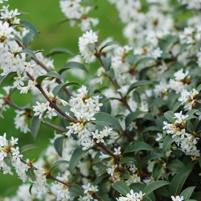 Burkwoods Duftblüte