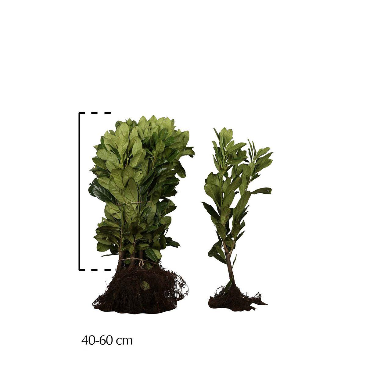 Kirschlorbeer 'Novita' Wurzelware 40-60 cm Extra Qualtität