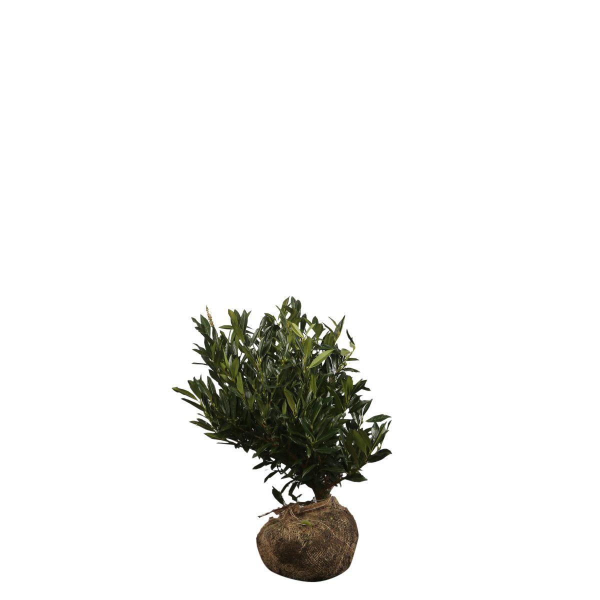 Breitwüchsiger Kirschlorbeer  Wurzelballen 50-60 cm