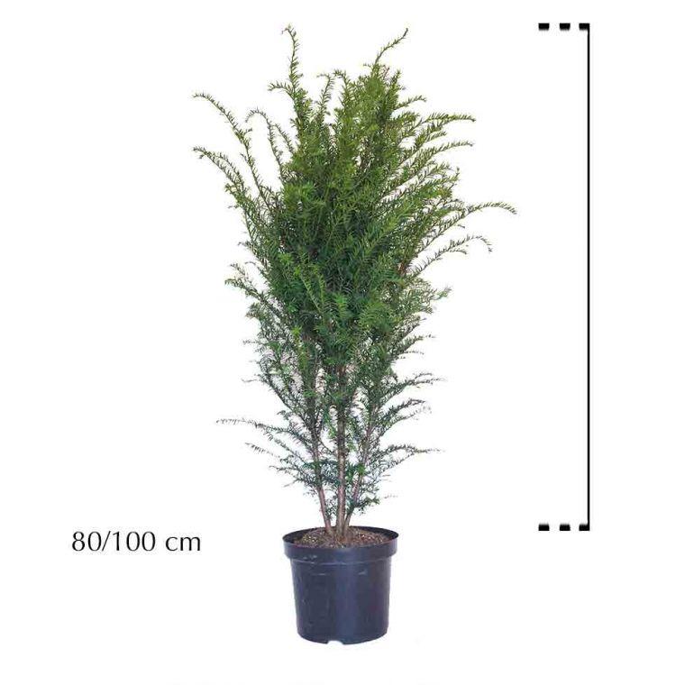 Gemeine Eibe Topf 80-100 cm