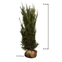 Nicht-fruchtende Becher-Eibe  Wurzelballen 125-150 cm Extra Qualtität