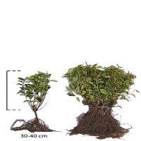 Portugiesischer Kirschlorbeer  Wurzelware 30-40 cm