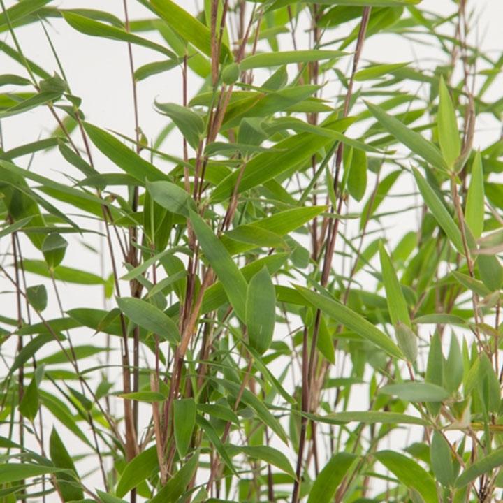 Bambushecke kaufen Online