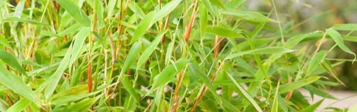 Bambushecke kaufen