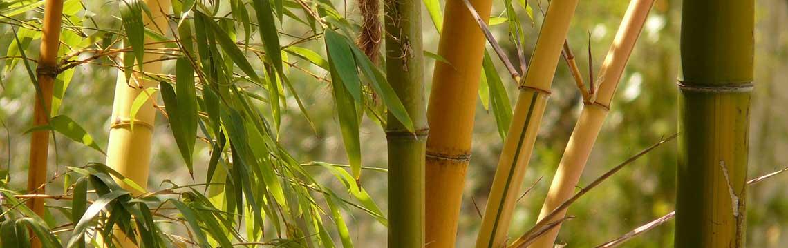 Bambushecke pflegen und pflanzen